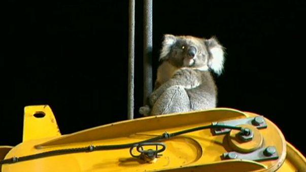 Magasban rekedt a koala