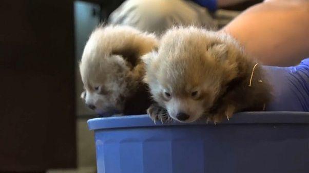 Denver Hayvanat Bahçesi yavru kırmızı pandaları tanıttı