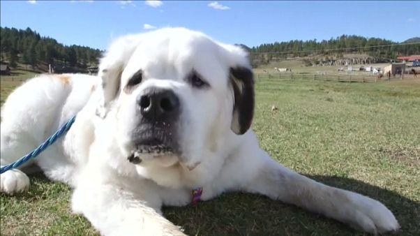 """شاهد: شاهد: الكلبة """"موتشيمو"""" تدخل موسوعة """"غينيس"""" بلسانها الاطول"""