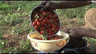 Le business des fraises au Burkina Faso et le cacao de Côte d'Ivoire[Business Africa]