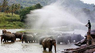 Купание слонов в Шри-Ланке