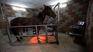 Libyan horses find new hospital