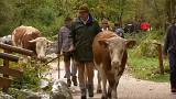 Bavarian cows return home for winter