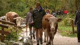 Almanya'da inekler yaylalardan indi