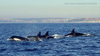 Grupos de orcas brilham ao largo da costa portuguesa