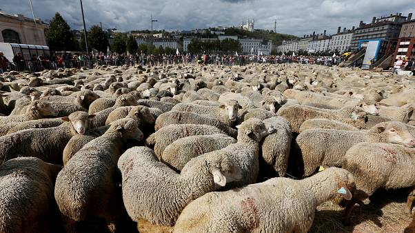 Sheep take to the streets in France as farmers protest wolf protection
