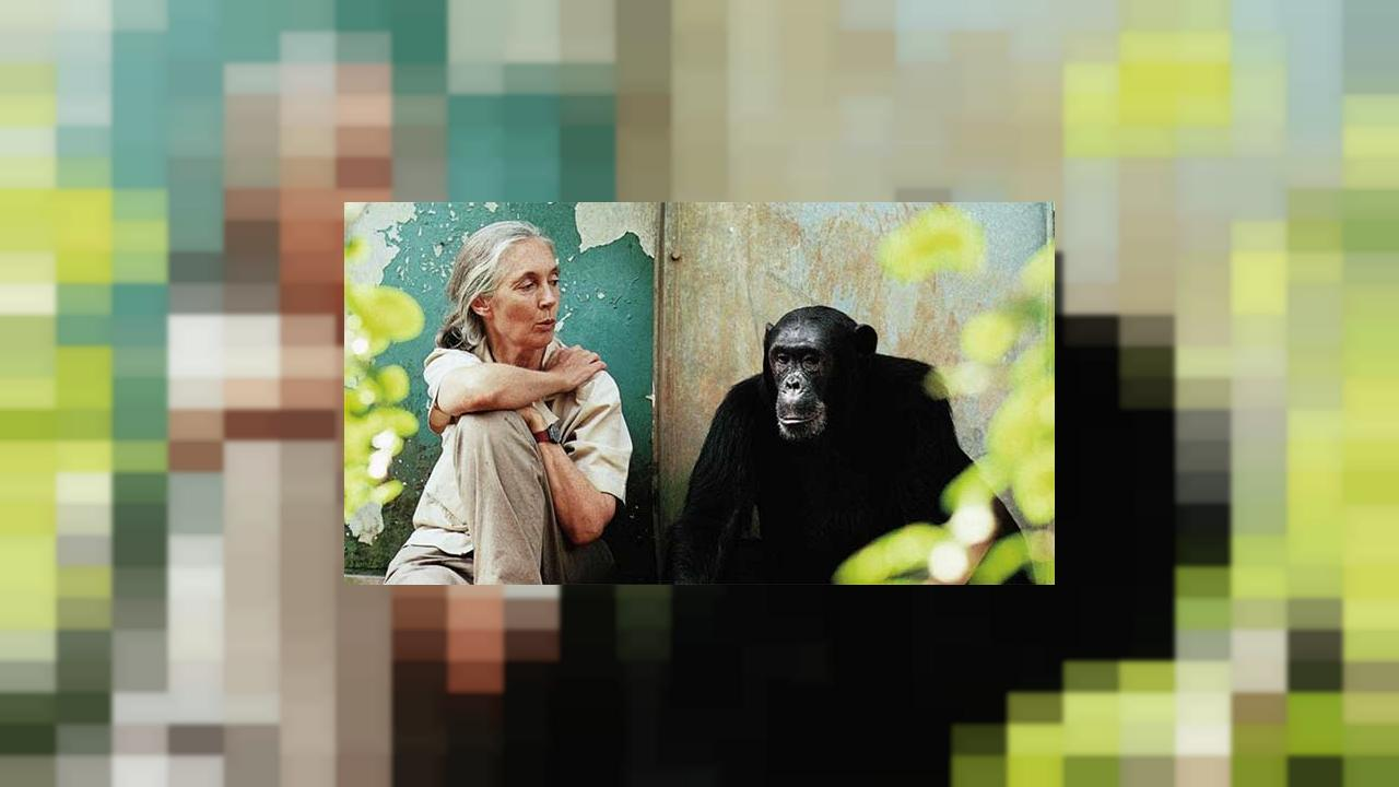 """Jane"", le documentaire sur la vie de la primatologue Jane Goodall"