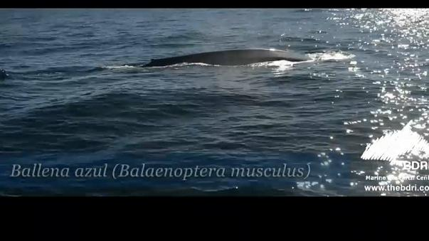 Des baleines bleues au large des côtes de Galice