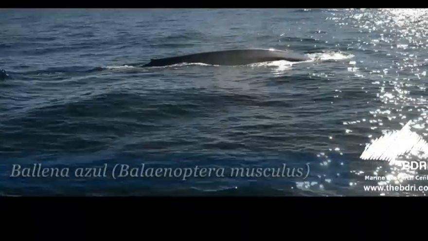 Extraordinario avistamiento de tres ballenas azules en Galicia