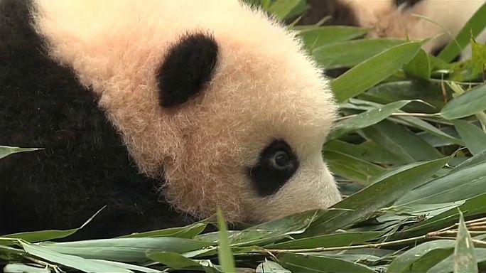 China apresenta 36 novas crias de pandas