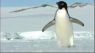 Les manchots Adélie, menacés dans l'Antarctique