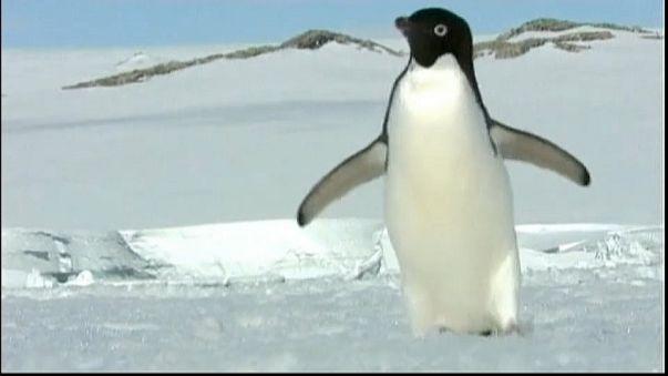 O dilema da morte em massa de pinguins-de-adélia