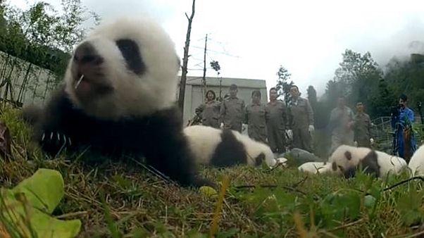 Pandas, leurs premiers pas