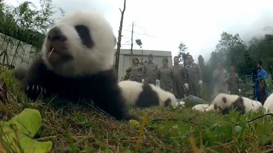 36 newborn panda cubs make their adorable debut