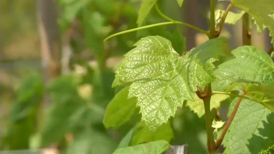 Bolivien: Luftiger Brandy findet weltweit Liebhaber