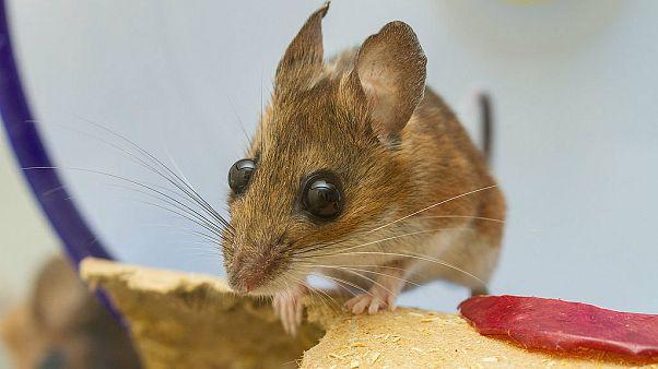 Fastfood-Mäuse in New York: Gibt es bald eine neue Spezies?