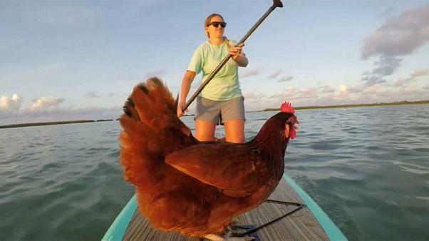 Navegando con una gallina por Florida