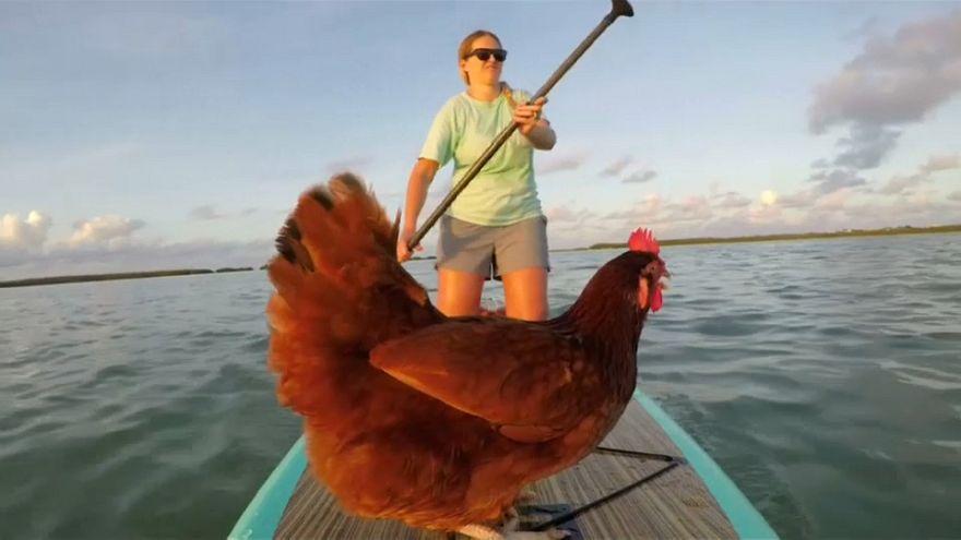Μια κότα κάνει... κωπηλασία με σανίδα!
