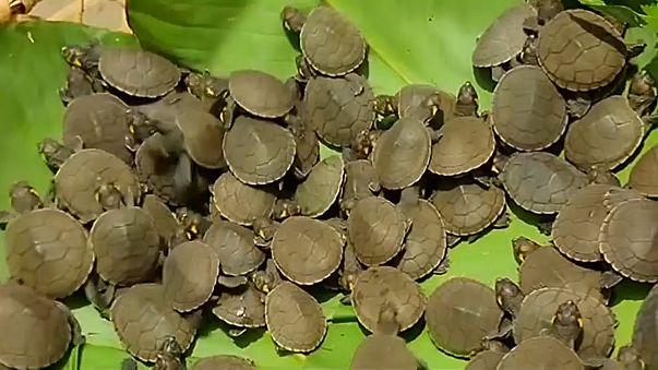 500 000 bébés tortues relâchés dans le fleuve Amazone