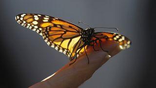 Uçan böcekler yok olma tehlikesiyle karşı karşıya