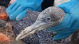 """التلوث يهدد طائر """"الغانيت"""" على جزيرة غراسهولم البريطانية"""