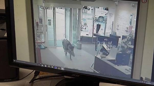 Wildschwein-Randale im holsteinischen Heide - 4 Verletzte