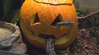 Animais do zoo comemoram Dia das Bruxas