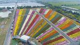 مهرجان الأقحوان في الصين بألوان الطيف