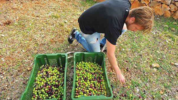 Magyar bronzérem az olívabogyószedő vb-n