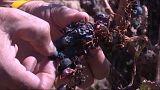 La producción mundial de vino cae a niveles históricos