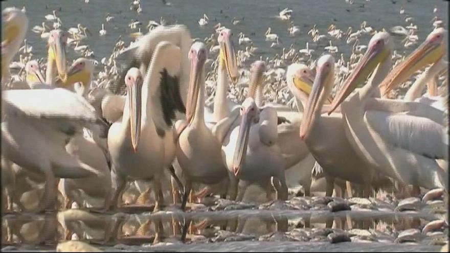 İsrail'de pelikanlara 6 ton balık