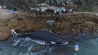 """شاهد: حوت """"يصر"""" على الانتحار في البرازيل!"""