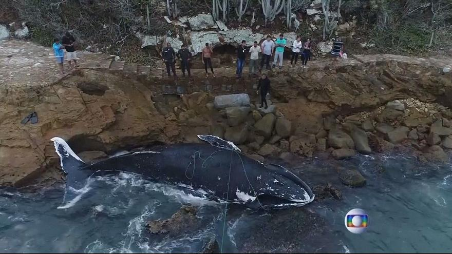 Body of humpback whale found on beach in Rio