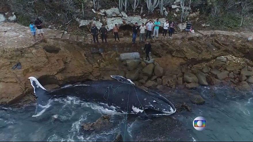 Kambur balina bu sefer şanslı değildi