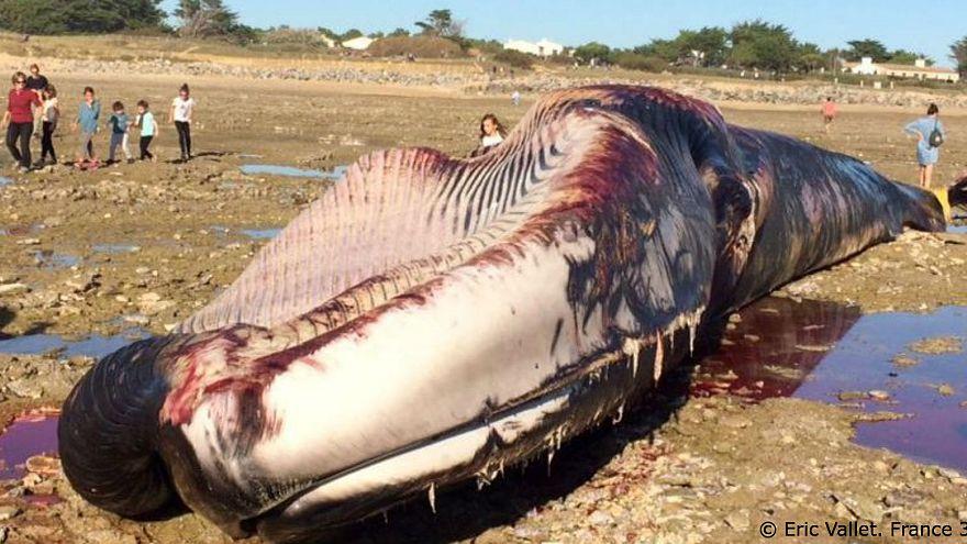 France : une baleine de 20 mètres retrouvée morte sur l'île de Ré