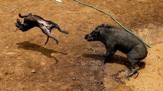 منازلة حتى الموت بين الكلاب والخنازير في أندونيسيا