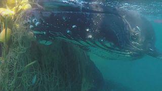 Sauvetage de deux baleines prises dans des filets