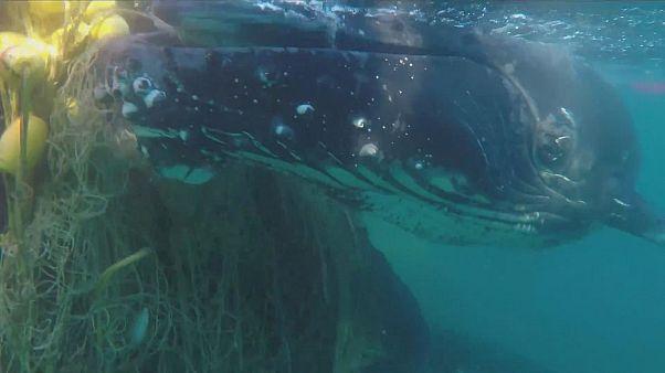 نجات دو نهنگ گوژپشت در ساحل استرالیا