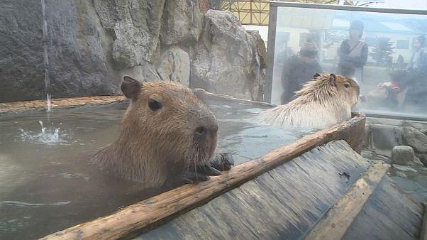 Kapibaraların sıcak havuz keyfi