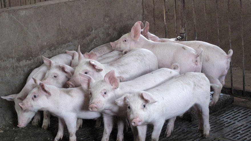 Aufschrei oder Aufklärung? Öffentliche Schlachtung von 2 Schweinen in der Schweiz