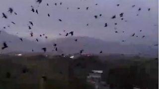 Murder of crows spreads fear in Tajikistan