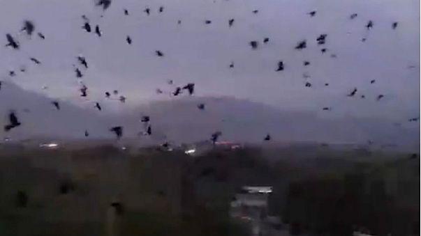 Una avalancha de cuervos genera escenas de terror en Tayikistán