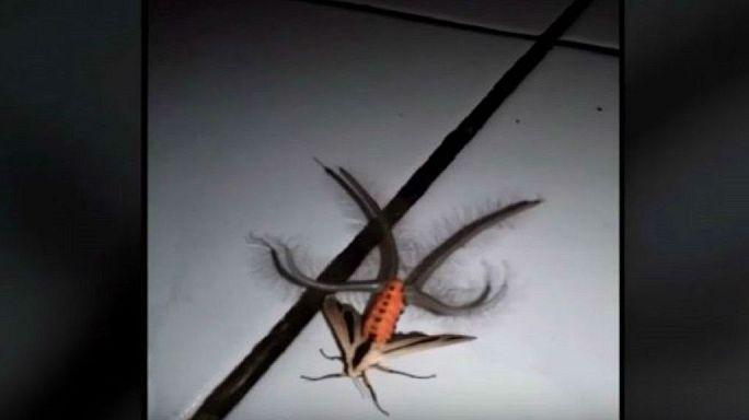 فراشة عملاقة فريدة من نوعها في إندونيسيا