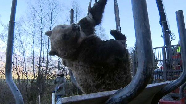 Un ours meurt dans un accident de la route