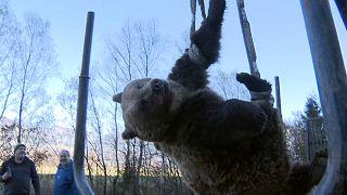 Elgázoltak egy medvét Karintiában