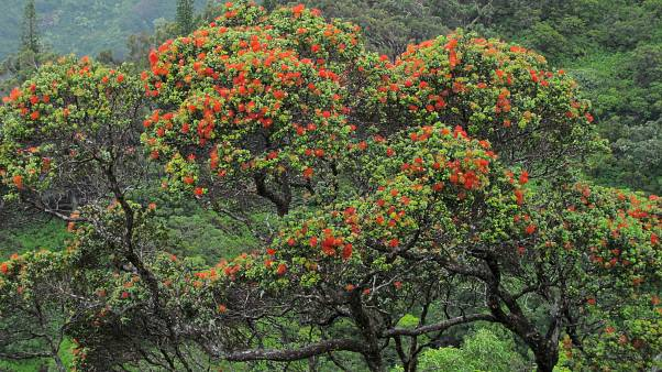Image; Ohia tree