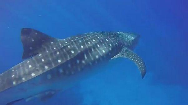 رویارویی نزدیک با کوسه نهنگ عظیم الجثه در جزایر هاوایی