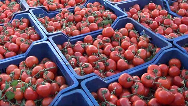 Rusya'ya ilk domatesler yola çıktı