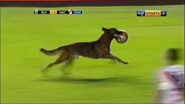 Ο Μέσι των...σκύλων στη Βολιβία (Βίντεο)