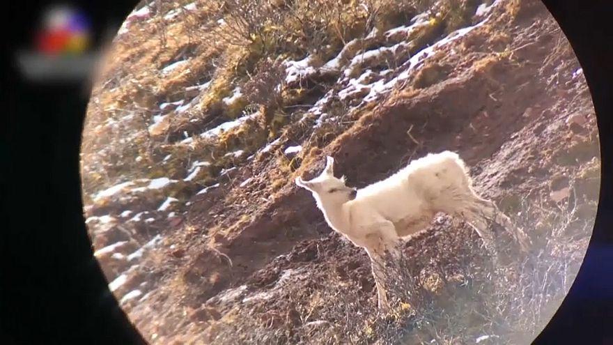 Weißer Elch in China entdeckt